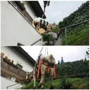 Привязь спасательная для крупного рогатого скота